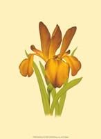 Iris Bloom II Fine Art Print