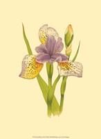 Iris Bloom VII Fine Art Print