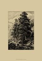 Arolla Pine Fine Art Print