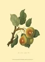 Teinton Squash Pear Fine Art Print