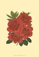 Blooming Azalea IV Fine Art Print