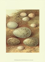 Bird Egg Collection II Fine Art Print