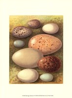 Bird Egg Collection IV Fine Art Print