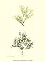 "Seaweed IV by Henry Bradbury - 10"" x 13"""