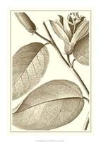 Cropped Sepia Botanical II Giclee