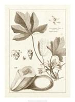 "Sepia Buchoz Exotics III by Pierre-Joseph Buchoz - 16"" x 22"", FulcrumGallery.com brand"