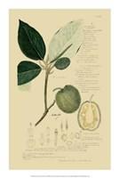 "Descubes Tropical Fruits II by Jillian Jeffrey - 14"" x 21"""