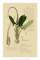 """Descubes Aroid Plant II by Jillian Jeffrey - 14"""" x 21"""""""
