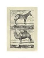 """Zebra Camel by Denis Diderot - 20"""" x 26"""""""