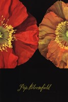 Red And Yellow Poppy I Fine Art Print