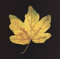Yellow Maple Fine Art Print