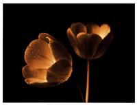 "25"" x 19"" Tulip Photography"