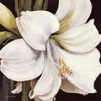 """White Amaryllis by s White Amaryllis - 18"""" x 18"""""""