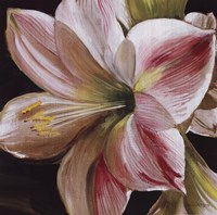 Pink Amaryllis Fine Art Print
