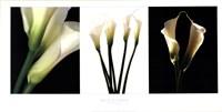 White Callas Fine Art Print