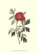 """Crimson Beauty III by Jillian Jeffrey - 10"""" x 13"""""""