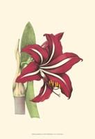 Amaryllis Blooms I Fine Art Print