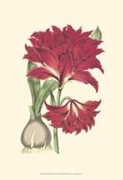 Amaryllis Blooms II Fine Art Print