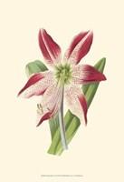 Amaryllis Blooms IV Fine Art Print