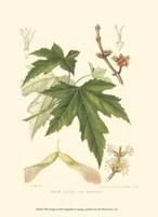 White Maple Fine Art Print