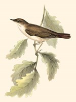 Gould's Nightingale Fine Art Print