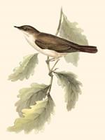 Gould's Nightingale Fine Art Print