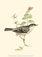 Gould's Barred Warbler Fine Art Print