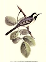"Gould's White Wagtail by John Gould - 10"" x 13"""