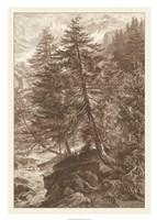 Sepia Larch Tree Giclee