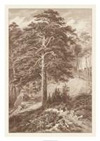 Sepia Wild Pine Giclee