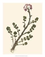 Pressed Botanical II Giclee