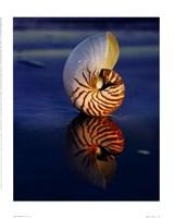 Tiger Nautilus Fine Art Print