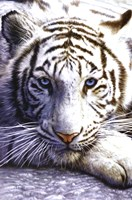White Tiger Wall Poster