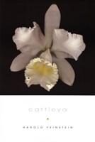 Cattleya Fine Art Print