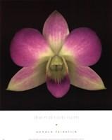 Dendrobium Fine Art Print