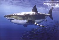 Great White Shark Underwater Wall Poster