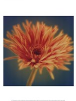 Chrysanthemum on Turquoise Framed Print