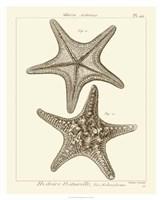 "Striking Starfish II - 26"" x 32"""