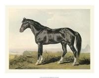 "Cassell's Horse II - 20"" x 16"""