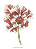 "Tulip Beauty III by Jennifer Goldberger - 10"" x 13"""