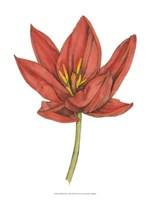 "Tulip Beauty IV by Jennifer Goldberger - 10"" x 13"""