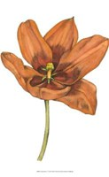 """Tulip Beauty V by Jennifer Goldberger - 10"""" x 13"""""""
