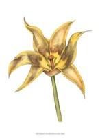 """Tulip Beauty VI by Jennifer Goldberger - 10"""" x 13"""""""