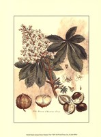 Small Antique Horse Chestnut Tree Fine Art Print