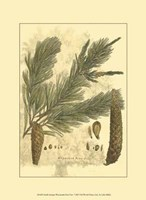 Small Antique Weymouth Pine Tree Fine Art Print