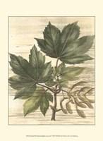 Small Weathered Maple Leaves II Fine Art Print