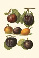 Plum Varieties II Framed Print