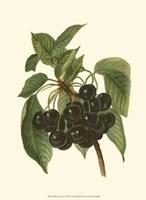 Black Cherries Fine Art Print