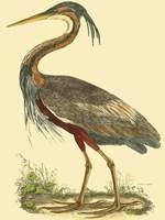 Small Purple Heron Fine Art Print