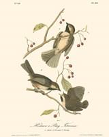 Hudson's Bay Titmouse Framed Print